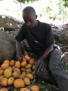 Sally Bilaly Sow réfléchi sur le sort des mangues. Photo : Thierno Diallo