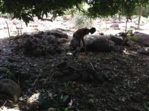 Thierno en train de ramasser les mangues,photo : Sally Bilaly Sow