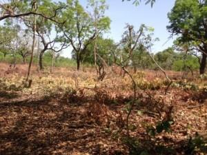 Un champ defriché à Kata , photo : Sally Bilaly Sow